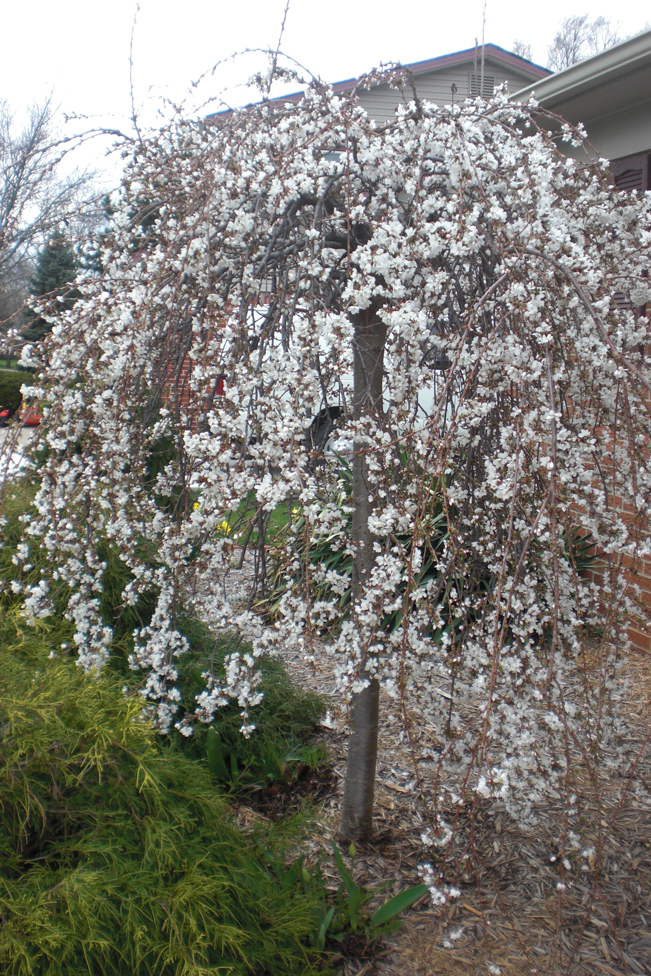 Flowering tree by my house. It will turn pink in a few weeks!