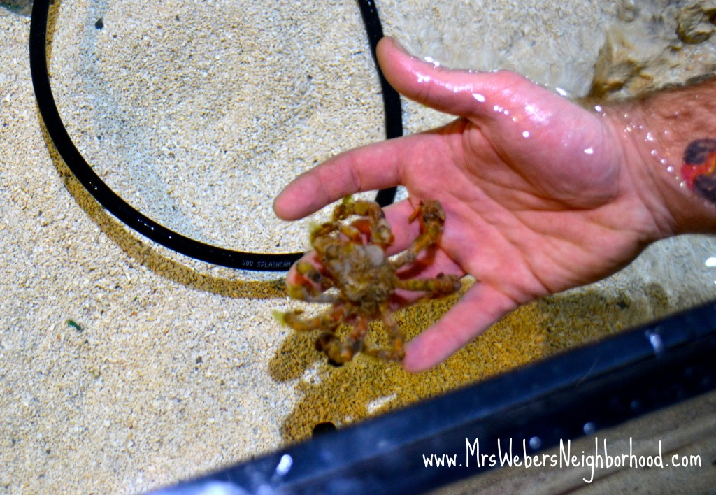 SEA LIFE Michigan Decorator Crab