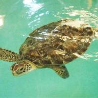 Benson the Sea Turtle from SEA LIFE Michigan