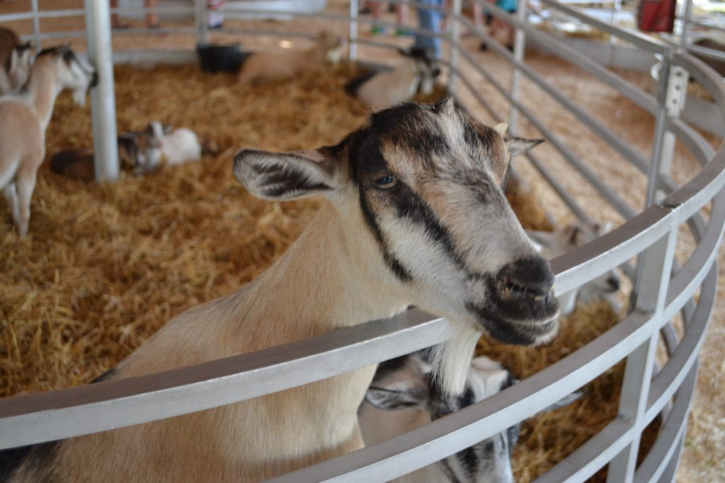 Animals at Oakland County Fair