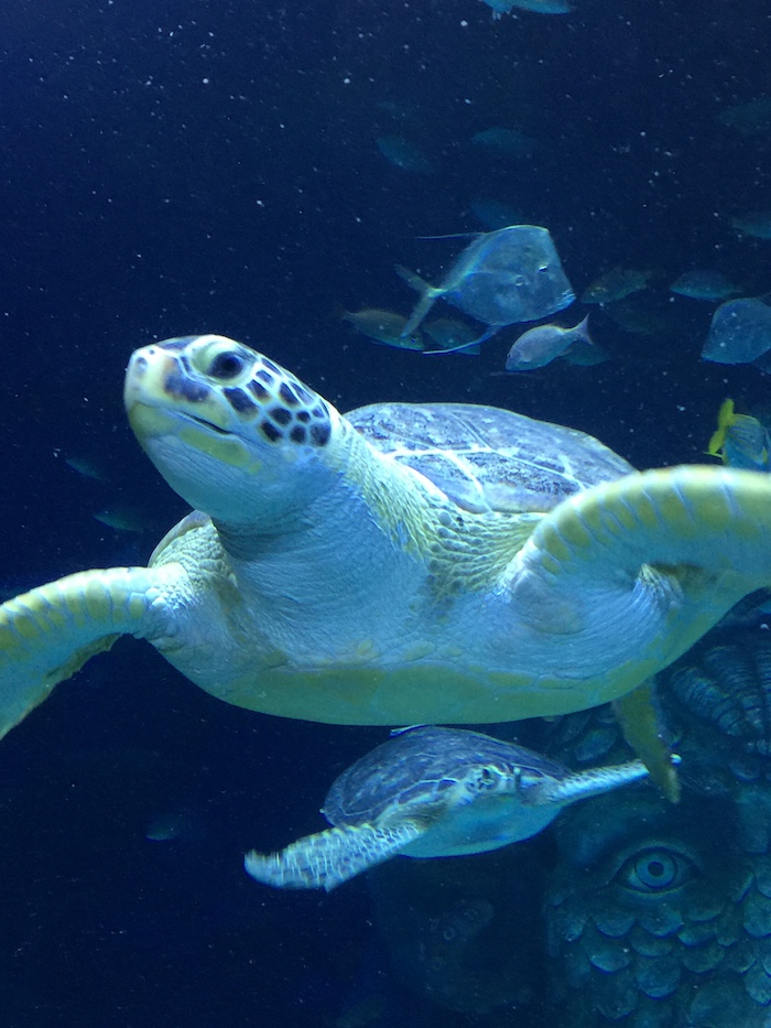SEA LIFE Michigan Celebrates Second Anniversary With New Rescued Sea Turtle