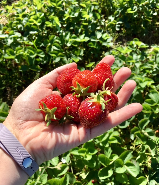 Strawberry Picking at Spicer Orchards in Fenton, Michigan