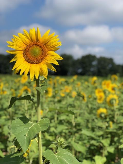 Sunflower Fields in Southeast Michigan